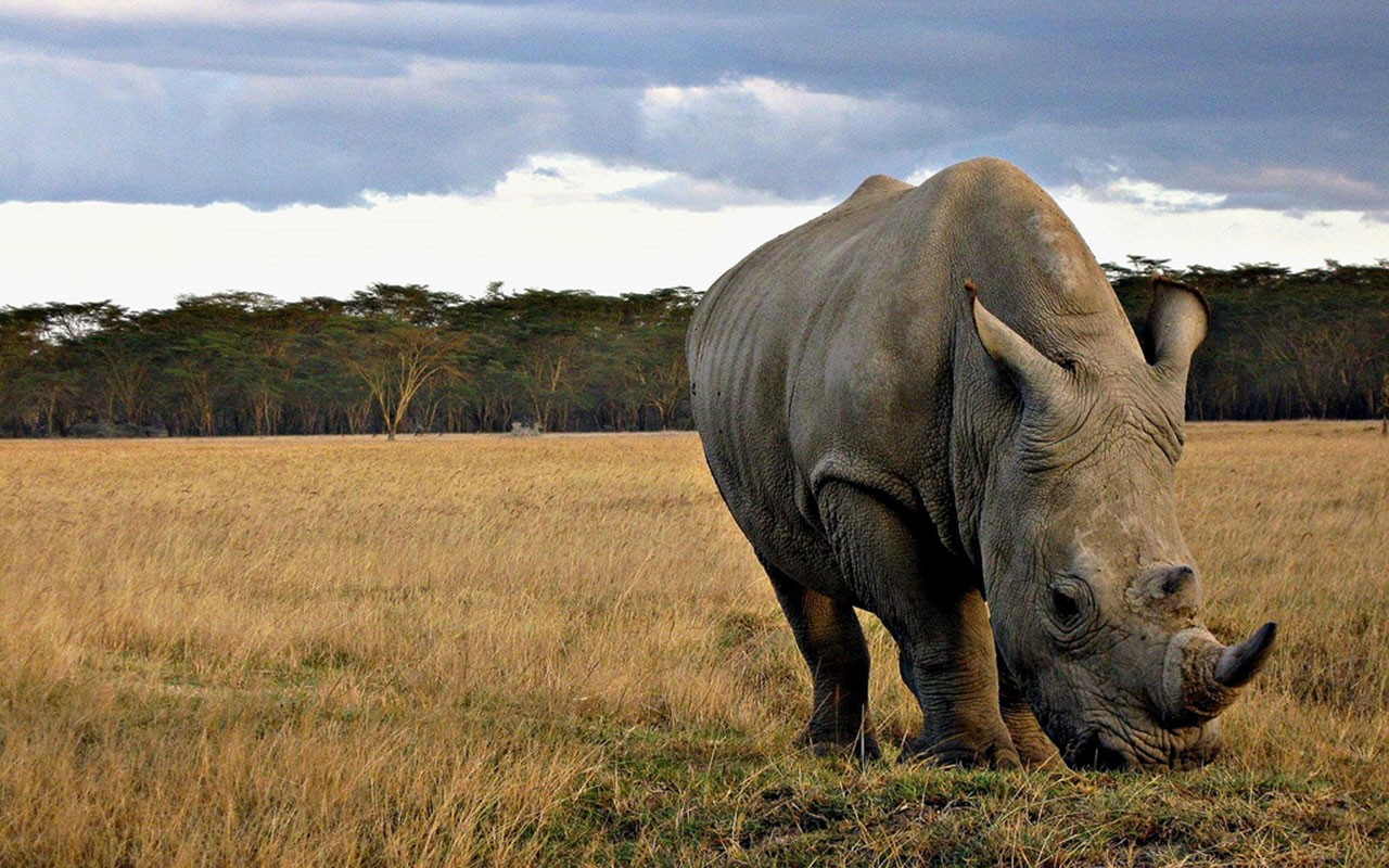 Neushoorn Kenia