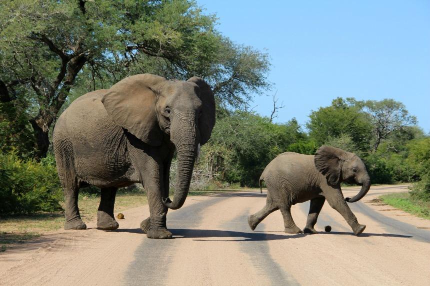 Zuid-Afrika_Safari_Olifanten_Krugerpark2