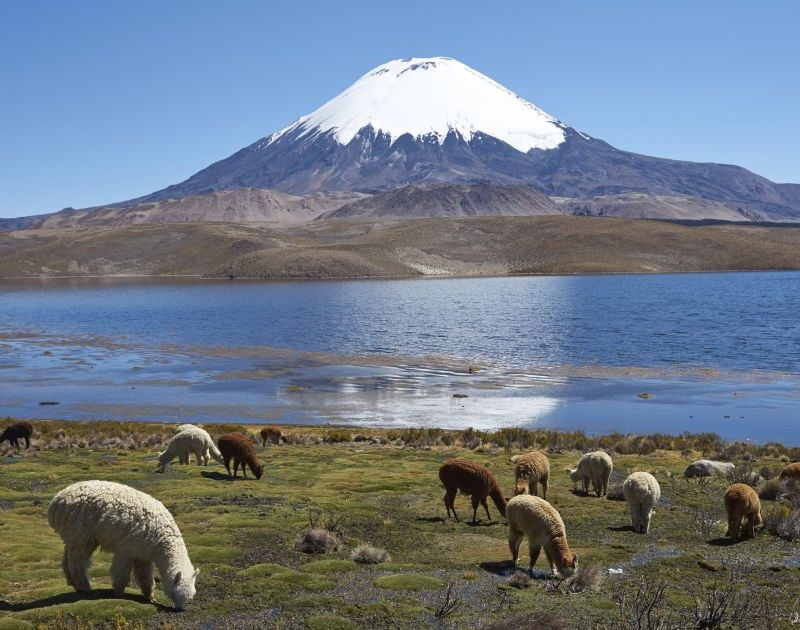 Lama's altiplano Peru