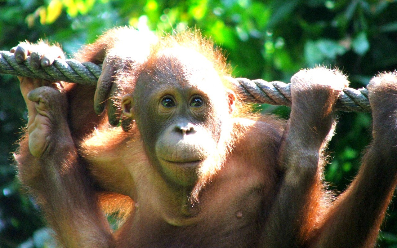 Maleisië-Borneo-reis Orang Oetang