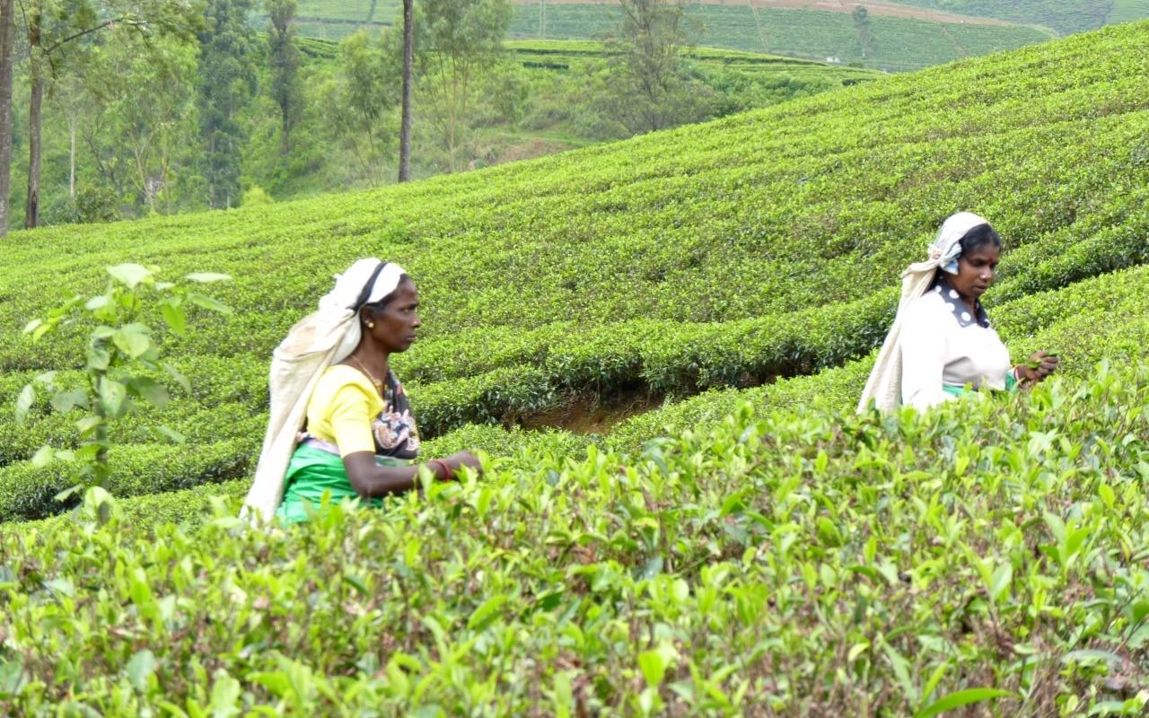 Rondreis door Sri Lanka - theevelden