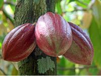 Baracoa reis cacao
