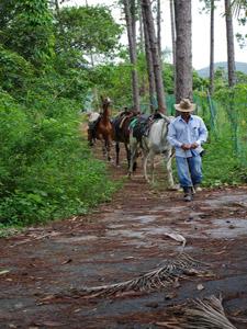 Cubaanse paarden