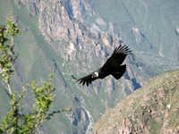 Colca-Canyon-top-5