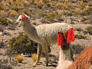 reiziger peru alpaca