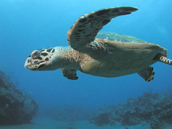 Schildpad Costa Rica