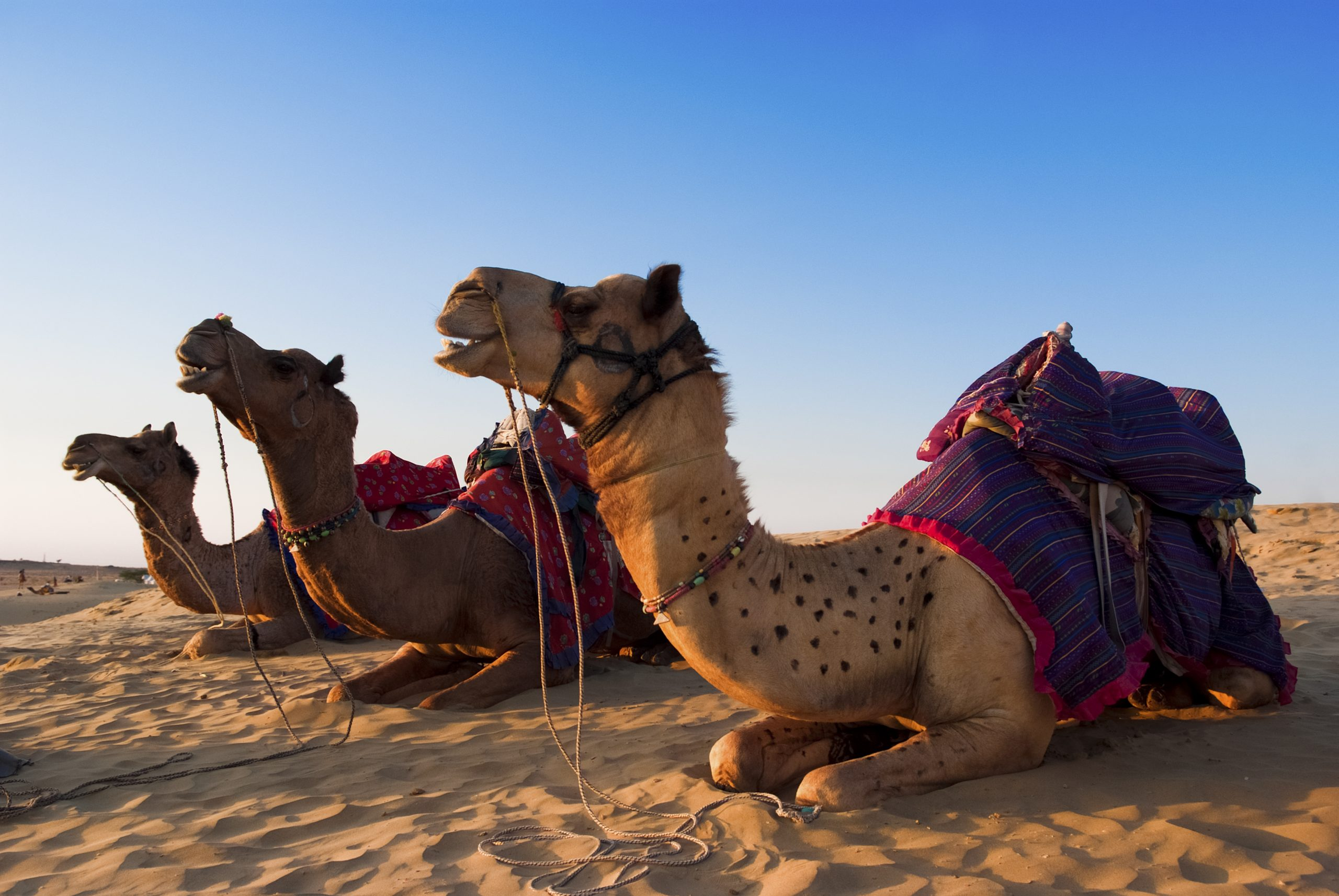 Woestijn Marokko- Kamelen